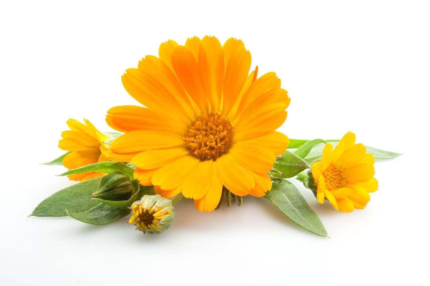 image de l'ingredient Souci