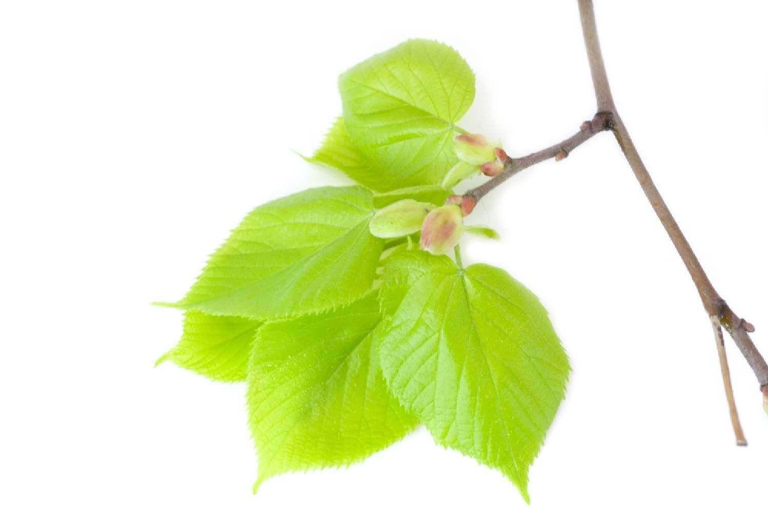 image de l'ingredient bourgeon de tilleul