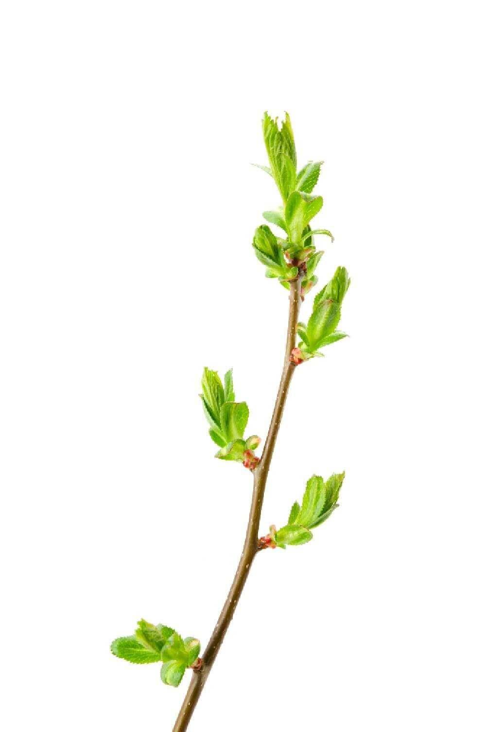image de l'ingredient Bourgeon d'aubépine