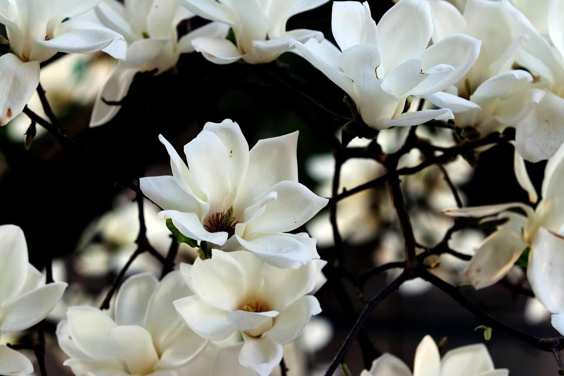 image de l'ingredient Le Magnolia