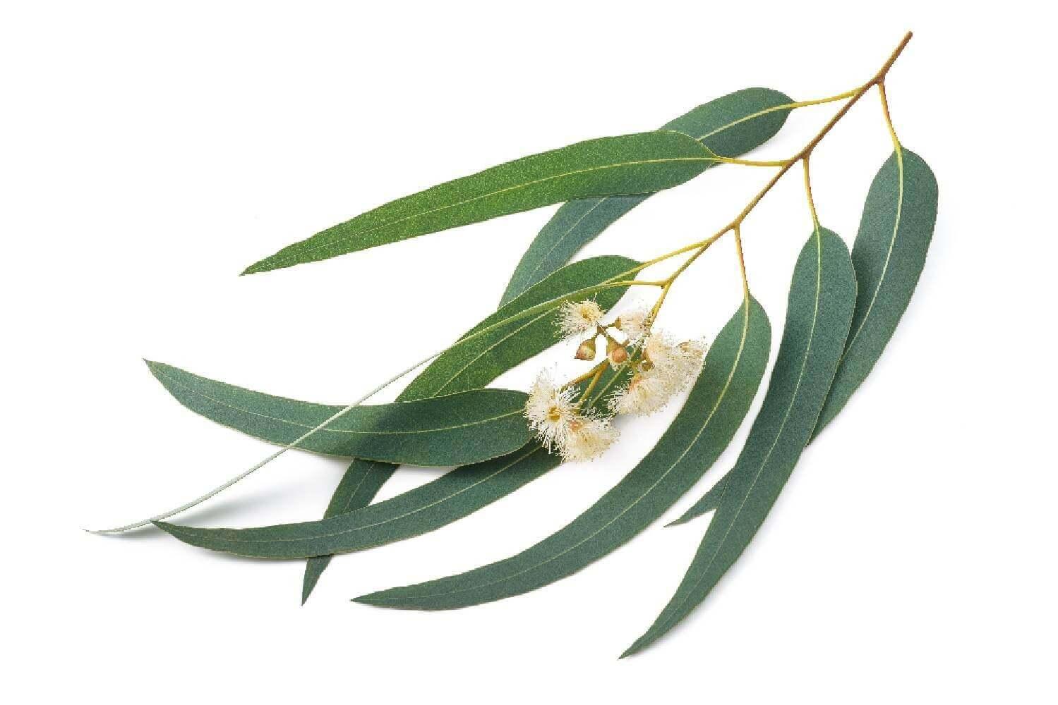 image de l'ingredient Eucalyptus