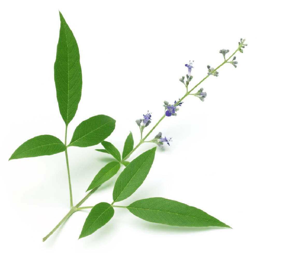 image de l'ingredient Gattilier