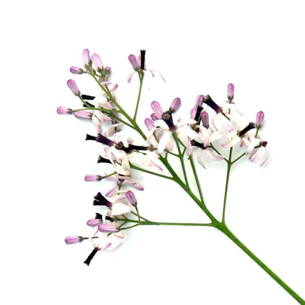 image de l'ingredient Le Banaba