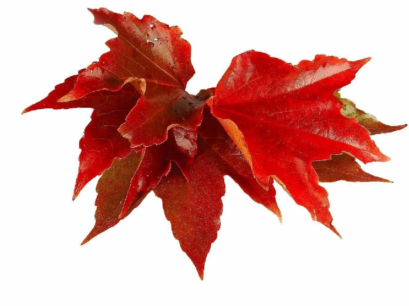 image de l'ingredient Vigne Rouge