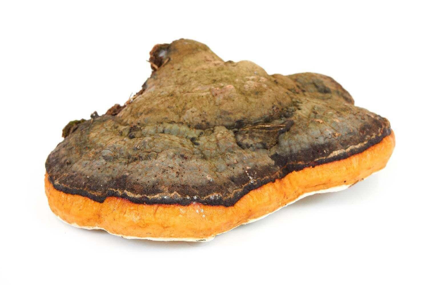 image de l'ingredient Chaga