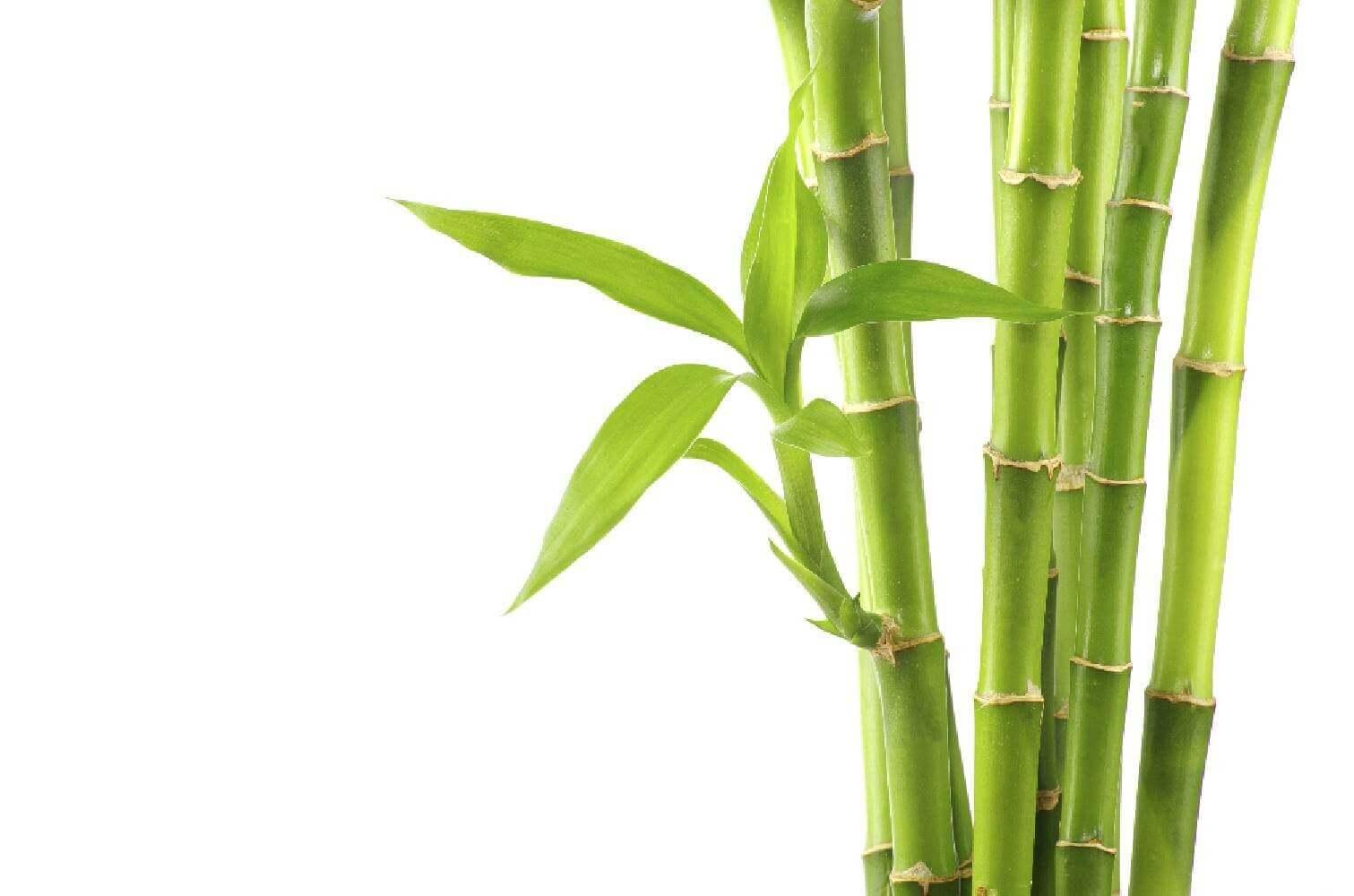 image de l'ingredient Bambou Tabashir
