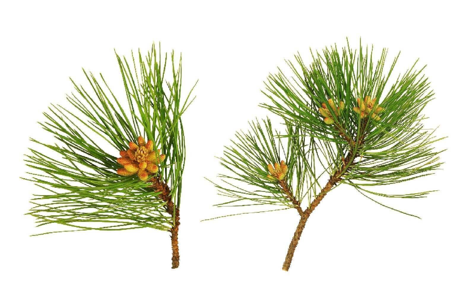 image de l'ingredient Ecorce de pin maritime