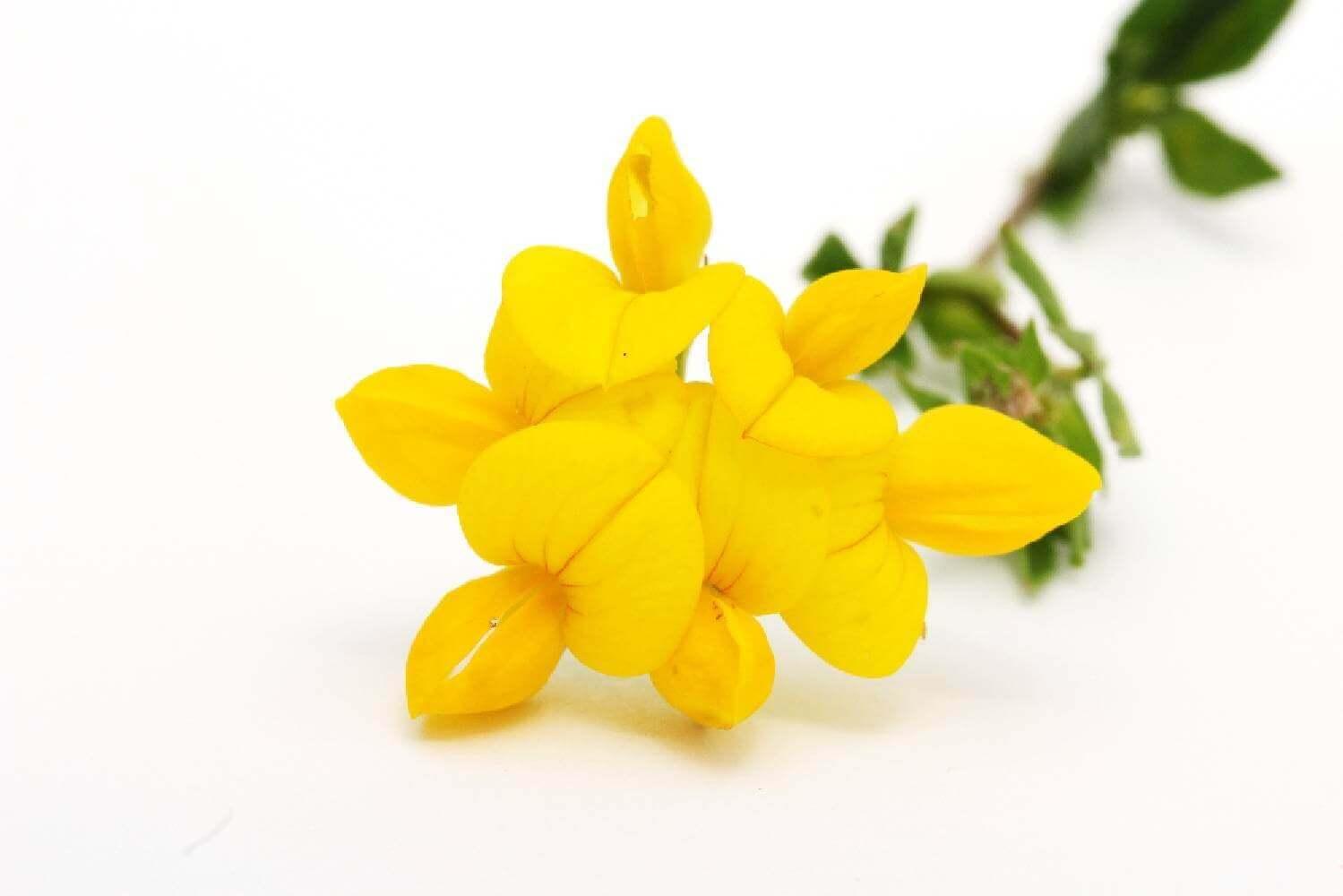 image de l'ingredient Lotier corniculé
